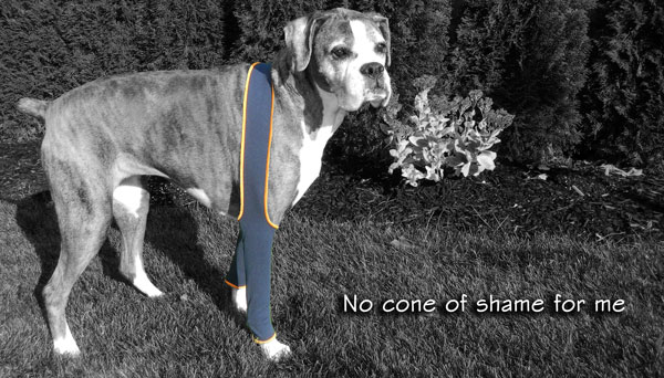 H4Legs brand H-Leggings on a large size dog